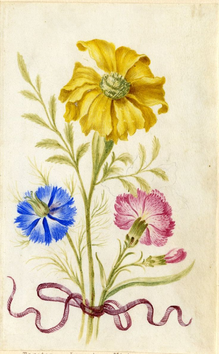 Drawing from an album, yellow Tagetes, blue Love-in-a-mist and Pink, tied with crimson ribbon Watercolour over metalpoint, on vellum by Alexander Marshall. British, date 1639-1682.