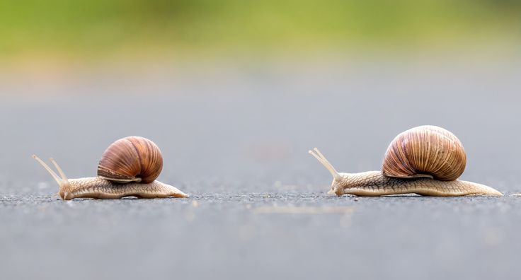 Burgundy snail (Helix pomatia) - Where are you going? Burgundy snail (Helix pomatia)
