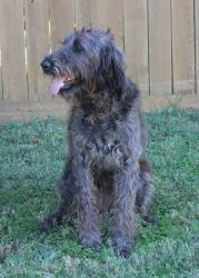 Ellie the Labradoodle - ADOPTED! is an adopted Labrador Retriever Dog in Abilene, TX. ADOPTED!!!! My name is Ellie and I am a labradoodle! I am not very old, I am about 18 months old, I am super hap...