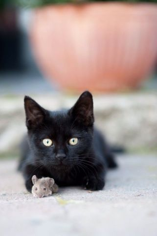 Halloween is coming and no other animal is more iconic than a black cat when it comes to this dark holiday.  Take a look at these adorable black cats and kitten pictures and learn some interesting black cat facts and superstitions while you browse.