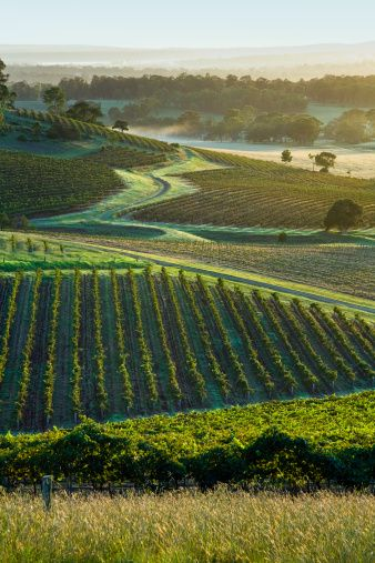 Dawn in the vineyards of the Hunter Valley, New South Wales, Australia