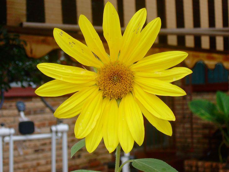 Klerksdorp - North West - Yellow Flower