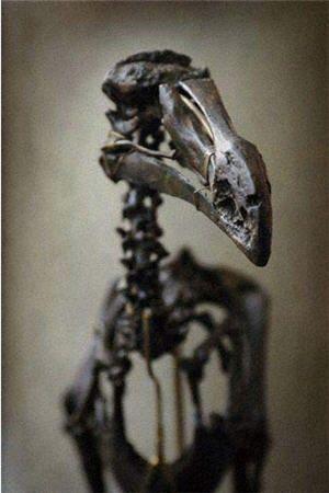 Dodo skeleton. Naturalis Museum. Leiden, Netherlands.