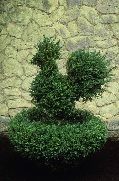 boxwood rooster......