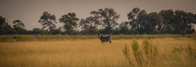 Zebra in a field in the Okavango Delta. Bush Camping in the Okavango Delta in Botswana Read the full post at http://www.divergenttravelers.com/bush-camping-okavango-delta-botswana/