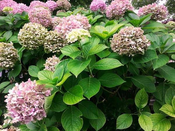 Mejores 130 im genes de mi jardin en pinterest - Hortensias cuidados maceta ...