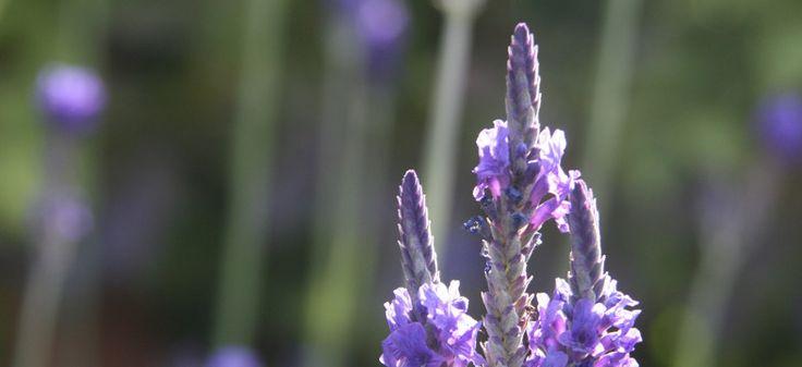 Lavendel schneiden, aber wie und wann? Wichtig sind Zeitpunkt und Technik für den richtigen Lavendel Rückschnitt. Alles zum Thema Lavendel schneiden wann und wie.