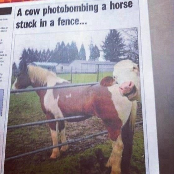 Newspaper articles about cows photobombing horses stuck in a fences. | 26 Everyday Occurrences In Australia