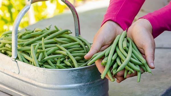 Z 1 m2 získáme okolo 6 kg krásných, zdraví prospěšných plodů, které náš jídelníček obohatí o skvělou chuť.