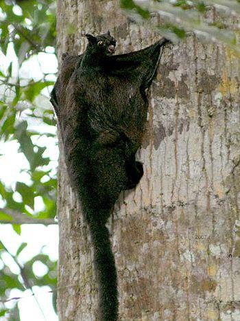 Large Black Flying Squirrel - Aeromys  tephromelas