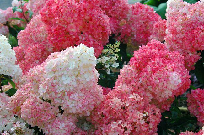 Hydrangea Vanille-Fraise, juin à septembre (150 cm)
