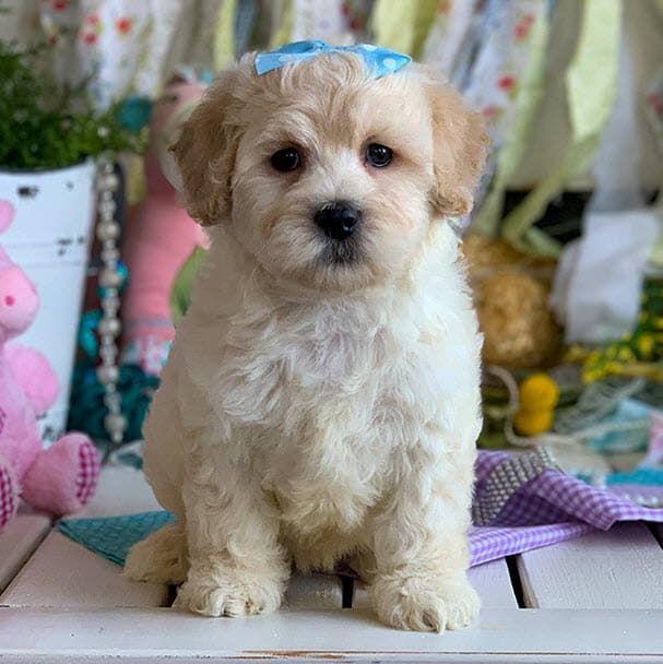 Cavapoos R Us Exceptional Champion Bloodline Cavapoo Cavapoochon Puppies In 2020 Cavachon Puppies Cutest Puppy Ever Puppies