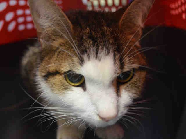 BERTA - A1090485 - - Manhattan  ***TO BE DESTROYED 09/21/16*** SWEET CHIRPING AND HEAD BUTTING BERTA WAS DUMPED IN THE SHELTER FOR PET HEALTH ! BERTA was given to someone and after taking her to the vet, they found out that this one year old girl is constipated, and has a wound on her tail that has a maggot infestation!! Rather than allowing the vet to treat her they disposed of this friendly kitty in the kill shelter. BERTA is AVERAGE rated and was calm, relaxed, kneaded a