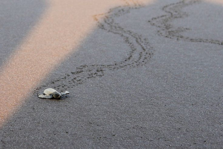 Velas, Not Just About Olive Ridley Turtles >>> I imagine this conversation between one of our baby participants in the group and the cute little #OliveRidleyTurtle as it makes its way towards the sea on the Velas beach. #Velas is located on the southern stretch of coastal #Maharashtra. Here the system of Homestay works best. Even we were staying in a Homestay. I must say, the people here are incredibly hospitable.