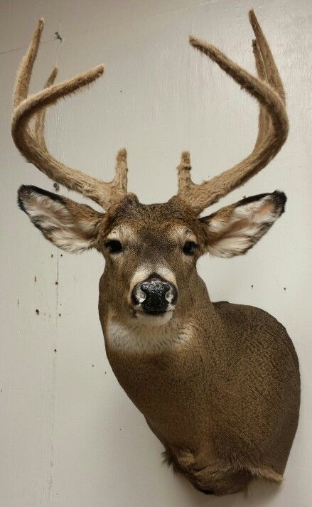 Whitetail deer mount, taxidermy done by the Mad Taxidermist : Rob Reysen www.lakeviewtaxidermy.com