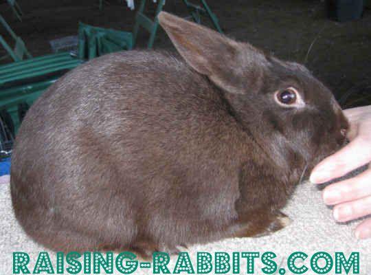 HavanaChocolate Havana Rabbit Breed        Senior Weight: 4 ½ - 6 ½ pounds.      Type: Compact      Color: Black, blue, chocolate, brokens      Distinctive: Medium-small, vibrantly colored.