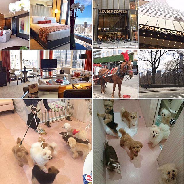 🗽NY到着☀️ #早速時差ぼけ #54階の部屋からセントラルパークがよく見える #街を歩いてみた #日本より寒い #話題のトランプタワー #ペットホテルの様子 #newyork#newyorkcity#dog#dogstagram#chihuahua#toypoodle#teacuppoodle#mixdog#instadog#チワワ#トイプードル#ティーカッププードル#ミックス犬#愛犬#多頭飼い#ペットサロン#hotel#54階