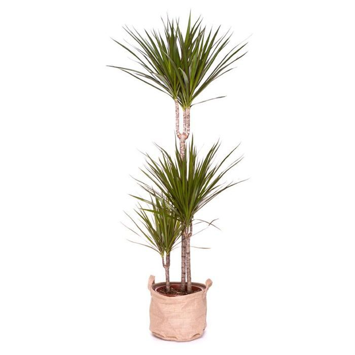 1000 id es sur le th me dracaena plant sur pinterest plantes plantes de bambou et plantes d. Black Bedroom Furniture Sets. Home Design Ideas