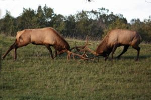 Pennsylvania has the largest free roaming elk herd in Eastern United States. Visit www.elkcountryvisitorcenter.com for more information. I was born in the heart of Elk County in Ridgeway, PA