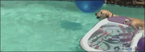 Chihuahua still paddles. [video]