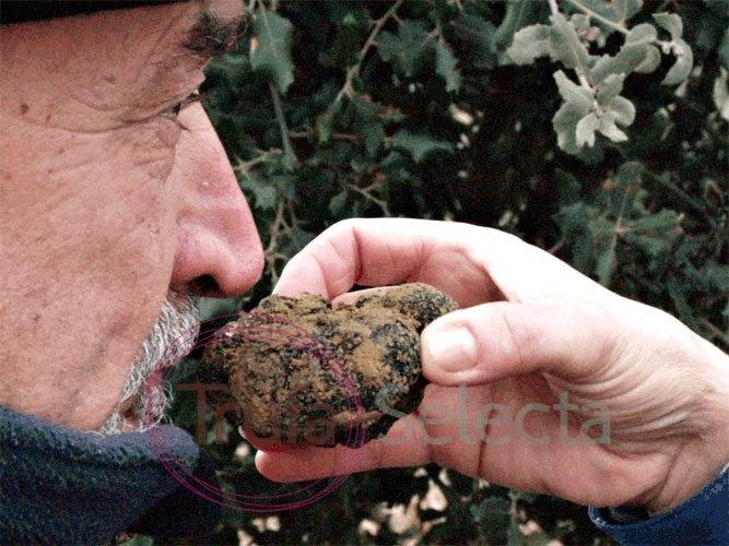 Collection of black truffle | Recogida de trufa negra