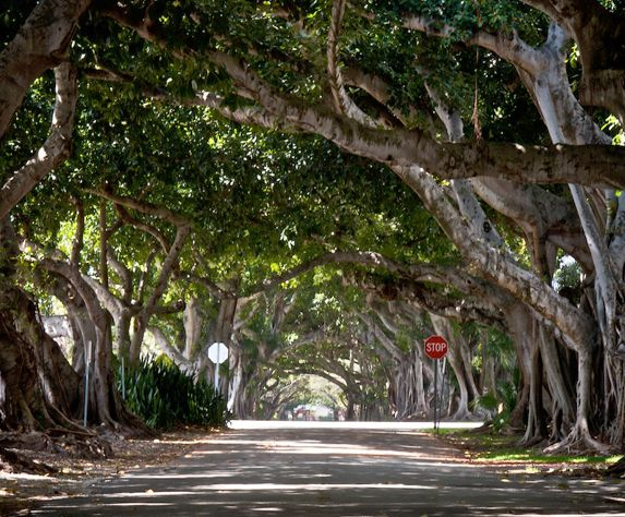 Coral Way in the Coral Gables (Miami) Banyan trees