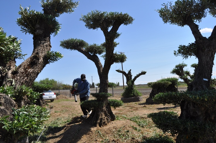 10 best olive trees images on pinterest bonsai string for How to make an olive tree into a bonsai