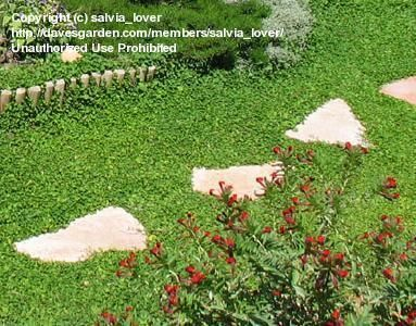 Ground Cover - Dichondra, Kidney Weed - grows low to ground like lawn - very little maintenance required