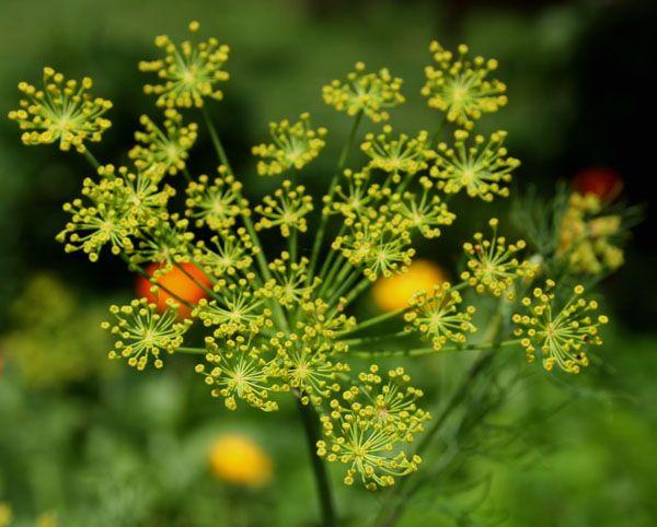 Άνηθος (Anethum Graveolens)