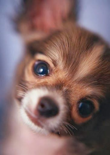 One of the Top 5 Smallest dog breeds Is chihuahua :) click the pic for full list