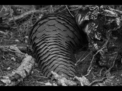 Rare Pangolin Spotted in Sabi Sand