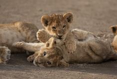 Passage To Africa - Serengeti - Tanzania #Lions #Lioncubs