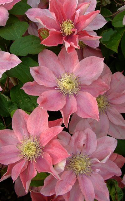 Clematis 'Little Mermaid' Appealing pink blooms with sunny yellow centers. Each flower has a generous count of wide tepals for a full look. Wonderfully long bloom season. Clematis 'Little Mermaid' is a mid-sized vine to grow on a trellis, fence, or through a shrub.