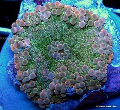 Mushroom Corals for Sale   Live Coral - Pink Orange Tip Green Ricordea Yuma Mushroom For Sale ...