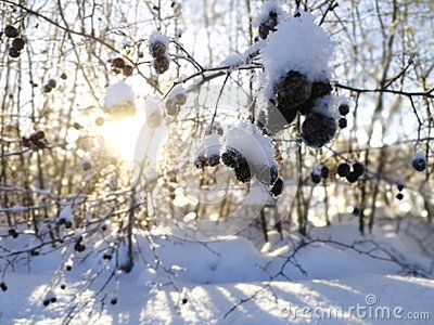 #Snow covered berry tree with trees and the sun shining through them in the background. #Norrbotten