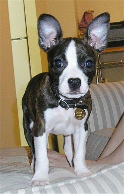 Foxton (Boston Terrier / Toy Fox Terrier hybrid)