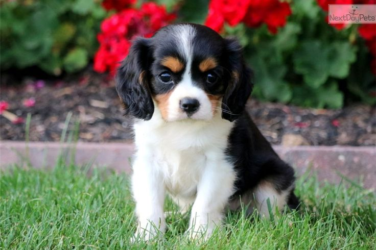 Toby: Cavalier King Charles Spaniel puppy for sale near Lancaster, Pennsylvania | dc8467a6-dfb1