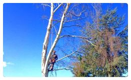Tree Surgeons Weybridge - Alpha Tree Care are tree surgeons in Weybridge, providing tree surgery in Weybridge, Walton, Hersham, Chertsey and throughout Surrey.