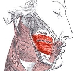 Buccinator-- is a thin quadrilateral muscle, occupying the interval between the maxilla and the mandible at the side of the face. It forms the anterior part of the cheek or the lateral wall of the oral cavity.