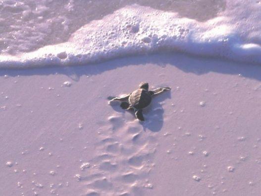 He's truckin'! Turtle going to sea, Mnemba Island, Tanzania