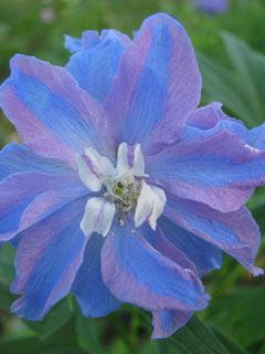 """Delphinium """"Guardian"""" blue and lavender striping, picotee flower image from http://www.growingformarket.com/articles/delphinium-varieties (-no large im but this is my FAVORITE pic)"""