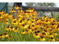 """Helenium """" Fatamorgana """" - záplevák Zahradnictví Krulichovi - zahradnictví, květinářství, trvalky, skalničky, bylinky a koření"""