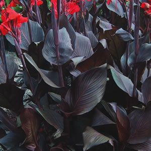 what a beautiful plant for a gothic home garden!