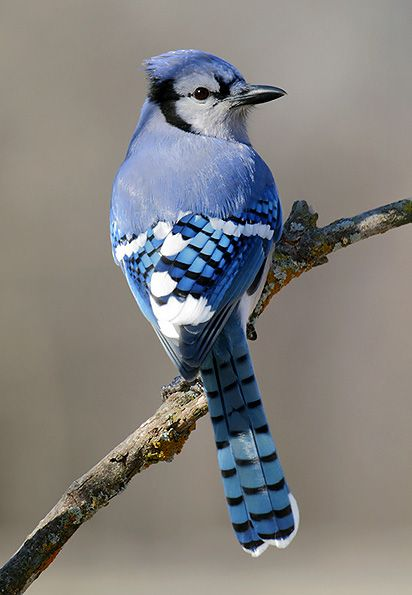I've never seen a Blue Jay this pretty...