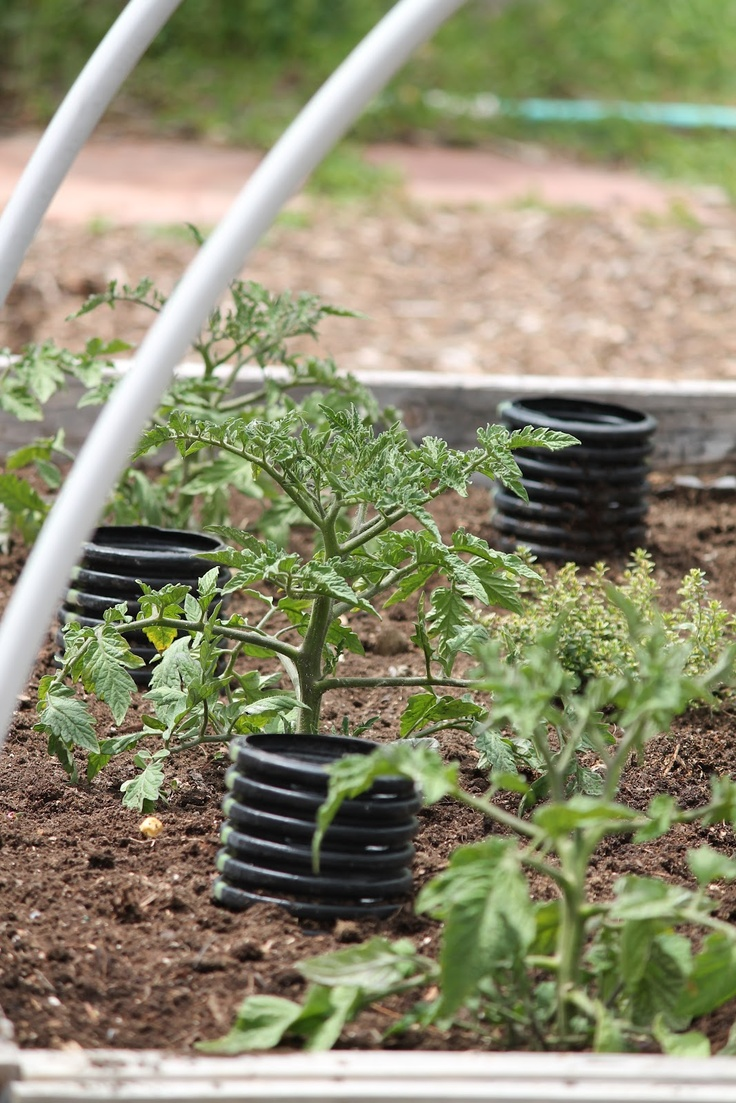 Camp Wander: How to Deep Water Tomato Plants..like this idea, but I especially want to remember the braces that go over the garden ..I have a ton of this tubing and what a great idea for frost protection