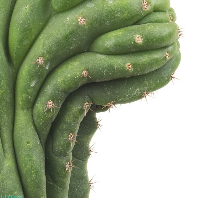 peruvian cactus - Google Search