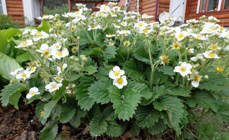 Технология выращивания ремонтантной клубники от А до Я. Узнайте, какая нужна почва, как сажать и поливать, чем подкормить весной, летом и осенью