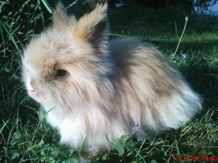 Les 25 meilleures id es de la cat gorie lapin nain angora sur pinterest lapin angora b b - 4 images 1 mot poussin lapin ...