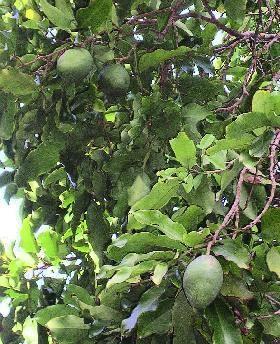 トンカ豆, Tonka Beans,  Dipteryx odorata