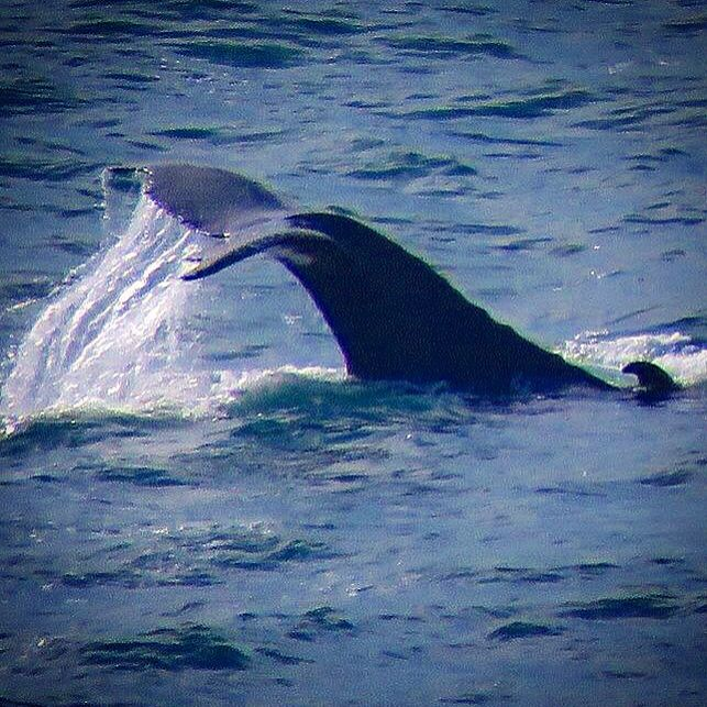 Whale tail on yesterday's Byron Bay tour